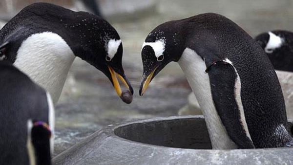 Прикрепленное изображение: пингвины.jpg